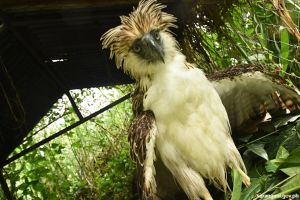 PEC rehabs rescued eagle