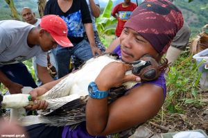 Philippine Eagle Sarangani Pride released