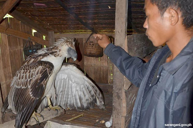 Philippine Eagle found in Maitum
