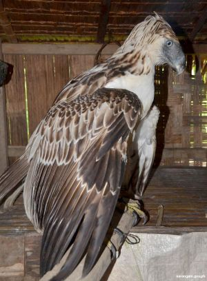 Philippine Eagle rescued in Sarangani
