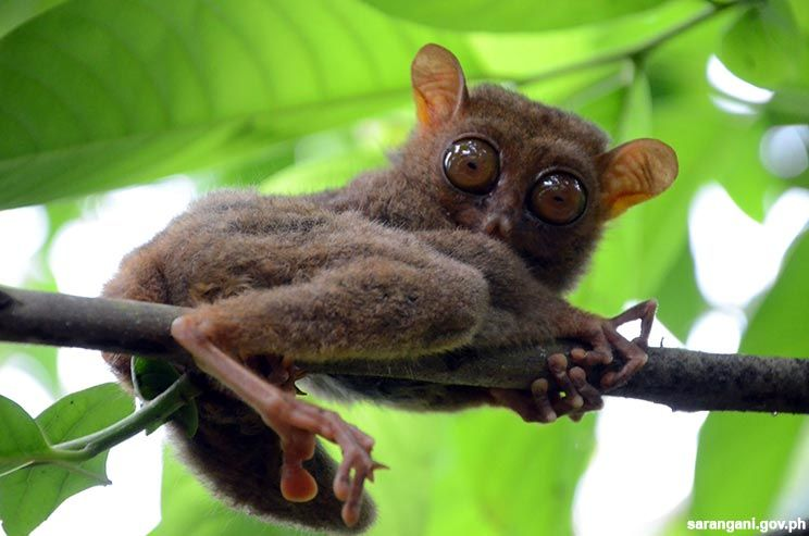 Philippine Tarsier released