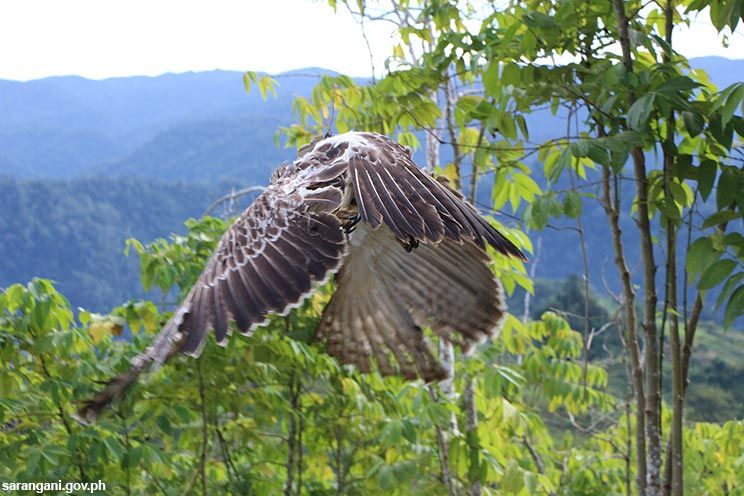 Philippine Eagle flies